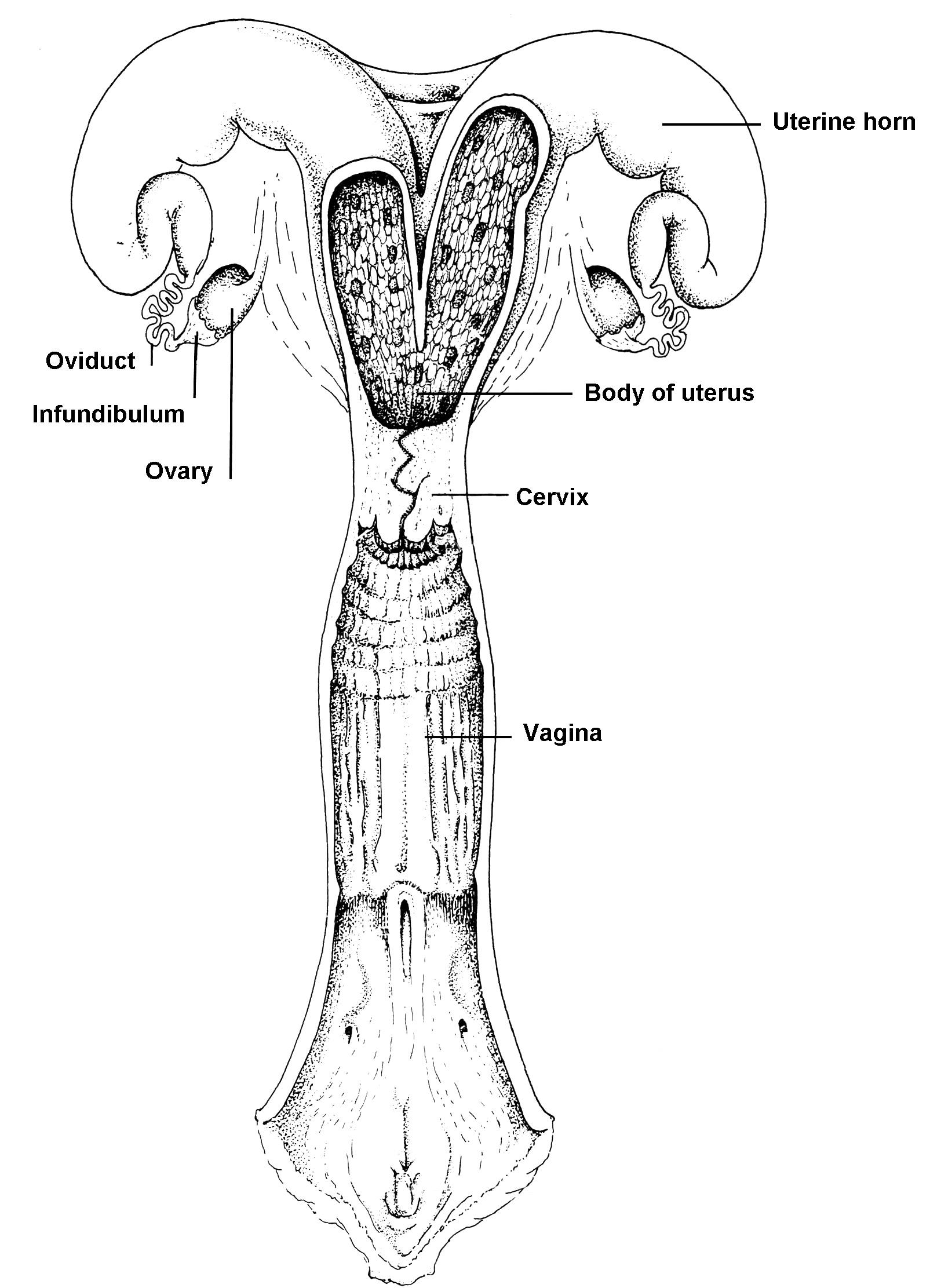 Physiology of Reproduction | Vetoquinol Repro360